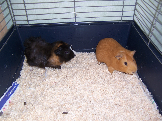 2 meerschweinchen zu verschenken tiere bietigheim bissingen. Black Bedroom Furniture Sets. Home Design Ideas